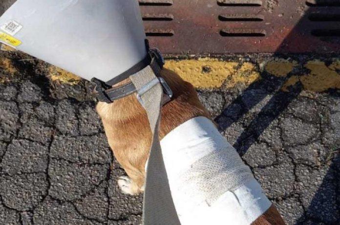 cachorro esfaqueado